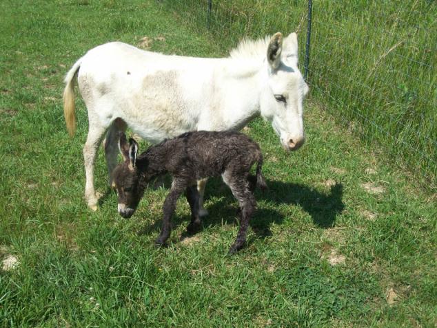 Mini Donkeys & Mini Mules - Half Ass Farm Monroe, North Carolina